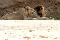 male lions Fotografering för Bildbyråer