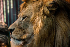 Male Lions Face. A detailed capture of a large Male Lion Face Royalty Free Stock Images