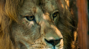 Male Lions Face 2. A detailed capture of a large Male Lion Face Stock Images