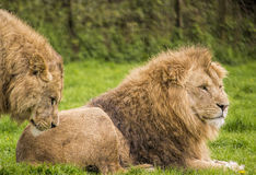 Male lions. Image of a male lions resting in the rain Royalty Free Stock Images