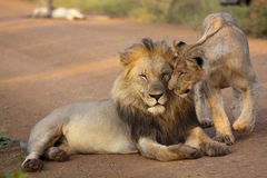 Male lions - king of the jungle Royalty Free Stock Image