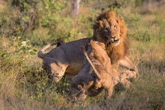 Male Lions in Kruger National Park. Two Male Lions fighting in Kruger National Park, South Africa Stock Images