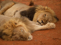 Male lions relaxing Stock Image