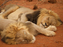 Male lions relaxing Royalty Free Stock Images