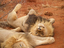 Male lions relaxing Royalty Free Stock Photos