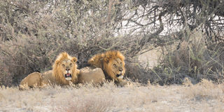 Male lions resting Royalty Free Stock Photos