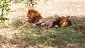 Male lions resting in savanna at africa stock video footage