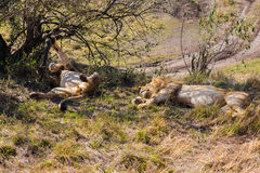 Male lions resting in savannah at africa. Animal, nature and wildlife concept - male lions resting in maasai mara national reserve savannah at africa Royalty Free Stock Photos
