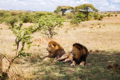 Male lions resting in savannah at africa Stock Image