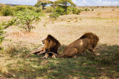 Male lions resting in savannah at africa. Animal, nature and wildlife concept - male lions resting in maasai mara national reserve savannah at africa Stock Photos