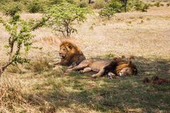 Male lions resting in savannah at africa. Animal, nature and wildlife concept - male lions resting in maasai mara national reserve savannah at africa Stock Image