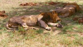 Male lions sleeping in savanna at africa stock video