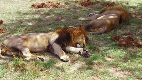 Male lions sleeping in savanna at africa stock footage