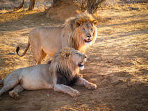Male lions together, in shade. Male lions together, one standing one lying in shade Stock Photo