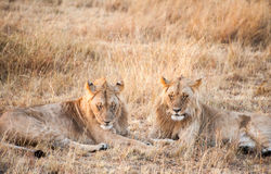 Male Lions watching. Two male lions laying down watching the goings on in the Masai Mara National Park, Kenya Royalty Free Stock Image
