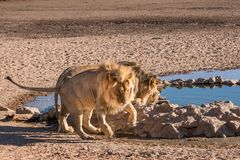 Male lions. At waterhole with one trying to avoid paw getting wet in Kgalagadi Transfrontier Park, South Africa Royalty Free Stock Images