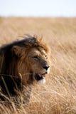 Male lionstående Arkivfoto
