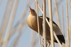 A male little bittern in breeding plumage. Sits on reed and sings a wedding song. A bloated throat sac of a bird is clearly visible Royalty Free Stock Photography
