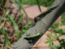 Male lizards in nature. Two male lizards are squaring off to compete for a female Stock Photo