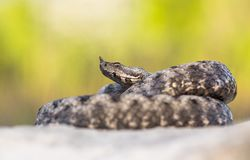 Male of Long-nosed viper Vipera ammodytes in Croatia royalty free stock photography