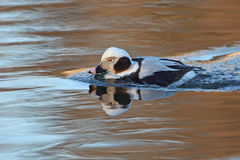 Male Long-tailed Duck (Clangula hyemalis) in Winter Plumage Stock Image