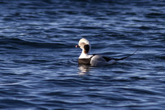 Male long-tailed ducks floating in the waters of the ocean sunny Stock Photography