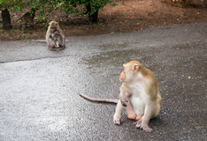 Male long-tailed monkey stares at mother and child monkey like h Stock Images