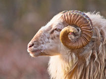 Free Male Long-tailed Sheep Stock Image - 27473471