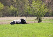 Male Longhorn Hungarian Grey Ox in Green Field Stock Images