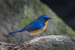 Male of Lovely Hill Blue Flycatcher Royalty Free Stock Images