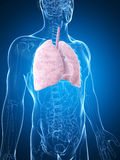 Male lung Royalty Free Stock Photo