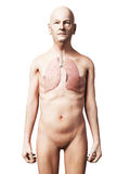 Male lung Royalty Free Stock Image