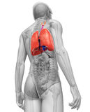 Male lungs anatomy Stock Images