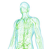 Male Lymphatic system. Male anatomy illustration of the Lymphatic system isolated Royalty Free Stock Image