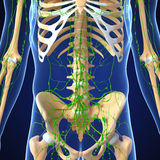 Male Lymphatic system with skeleton Royalty Free Stock Photos