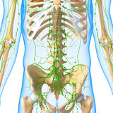 Male Lymphatic system with skeleton Stock Photos