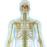 Male Lymphatic system with skeleton Royalty Free Stock Photo