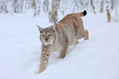 A male Lynx approaching. Northern Norway, a male lynx walking in the snow Stock Photos