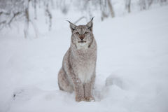 A male Lynx stares Royalty Free Stock Images