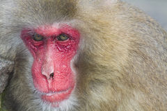 Male macaque Royalty Free Stock Images