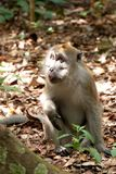 A male macaque in the forest Stock Photo
