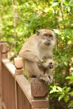 Male macaque on his perch Royalty Free Stock Photo