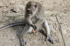 Male macaque monkey sitting, genitals visible Royalty Free Stock Photos