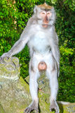 Male Macaque Monkey on a statue Stock Images