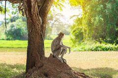Male macaque sits under tree royalty free stock photography