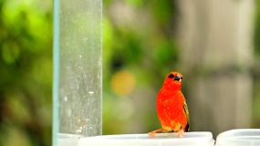 Male Madagascar red fody bird in aviary Stock Image