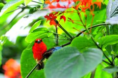Male Madagascar red fody bird & butterfly Royalty Free Stock Photo