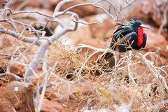 Male magnificent frigatebird Royalty Free Stock Images