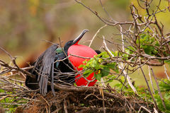 Male Magnificent Frigatebird with inflated gular sac on North Se Stock Photo