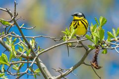Magnolia Warbler. Male Magnolia Warbler perched on a branch.Ashbridges Bay Park, Toronto, Ontario, Canada Royalty Free Stock Photo